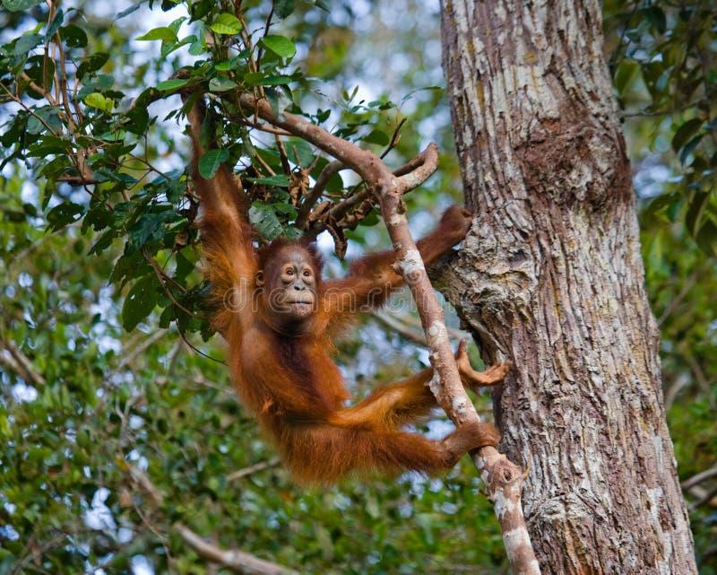 Un orang-outan de bébé dans le sauvage l'indonésie L'île de Kalimantan et de x28 ; Borneo& x29 ; photos libres de droits