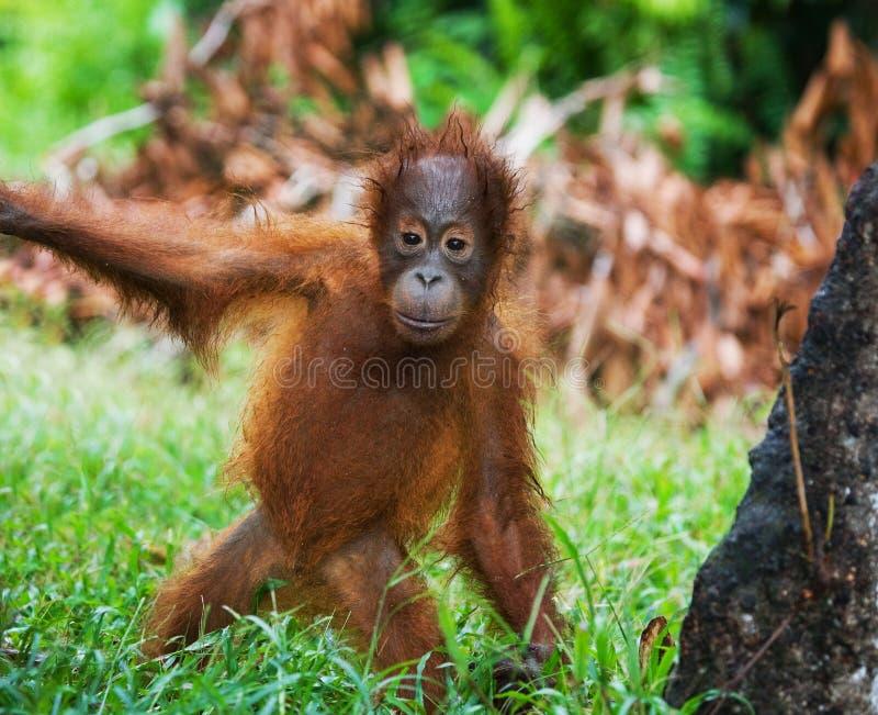 Un orang-outan de bébé dans le sauvage l'indonésie L'île de Kalimantan et de x28 ; Borneo& x29 ; photo stock