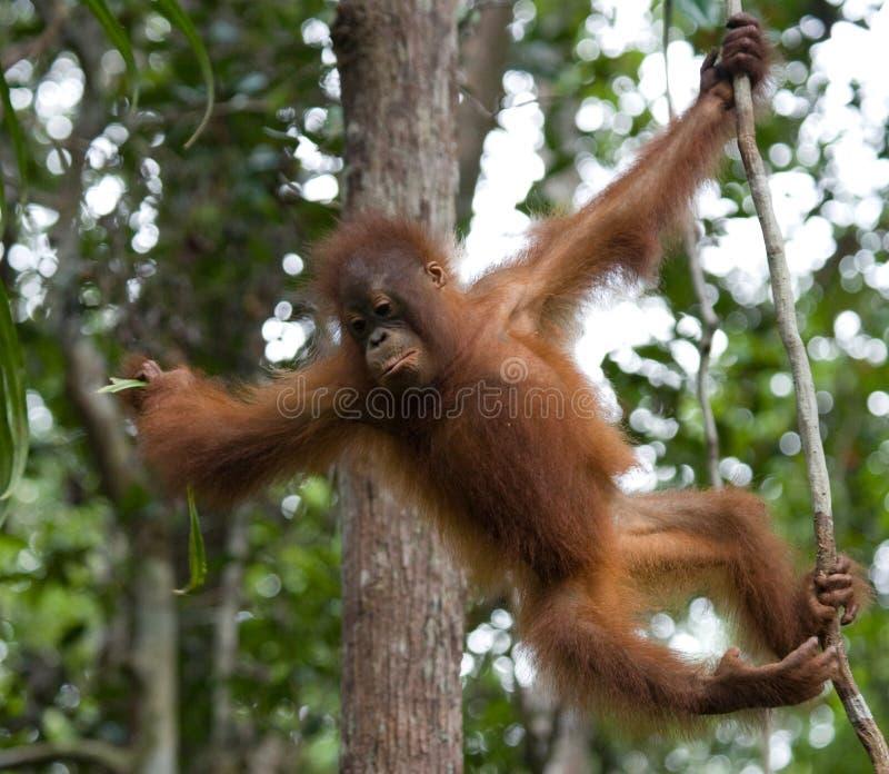 Un orang-outan de bébé dans le sauvage l'indonésie L'île de Kalimantan et de x28 ; Borneo& x29 ; image stock