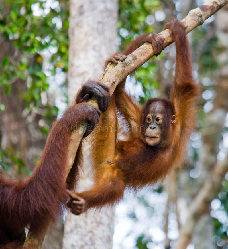 Un orang-outan de bébé dans le sauvage l'indonésie L'île de Kalimantan et de x28 ; Borneo& x29 ; photographie stock