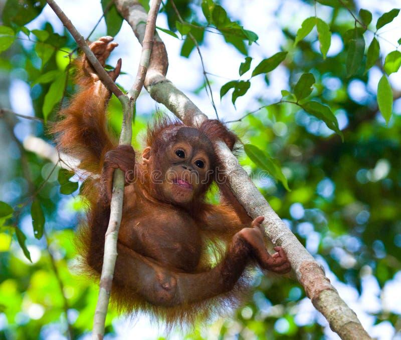 Un orang-outan de bébé dans le sauvage l'indonésie L'île de Kalimantan et de x28 ; Borneo& x29 ; images libres de droits