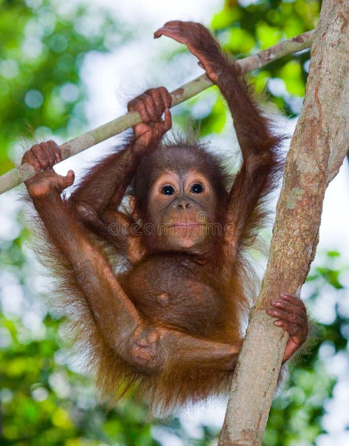 Un orang-outan de bébé dans le sauvage l'indonésie L'île de Kalimantan et de x28 ; Borneo& x29 ; images stock