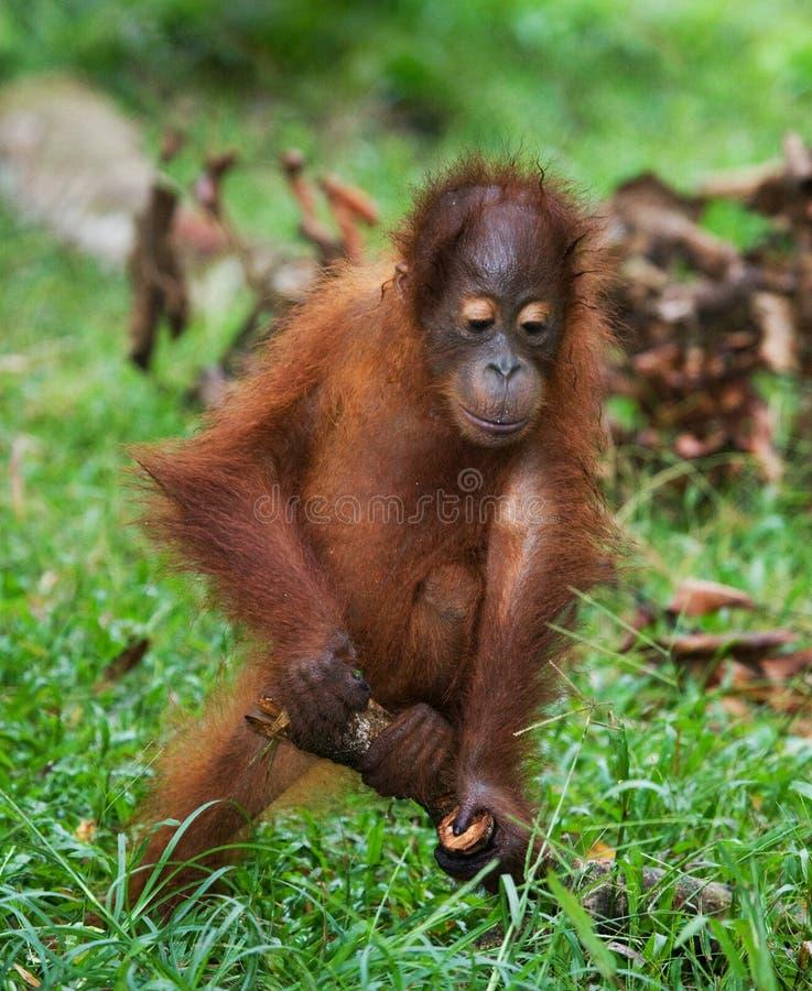 Un orang-outan de bébé jouant avec un bâton en bois l'indonésie L'île du Bornéo et du x28 ; Kalimantan& x29 ; photographie stock