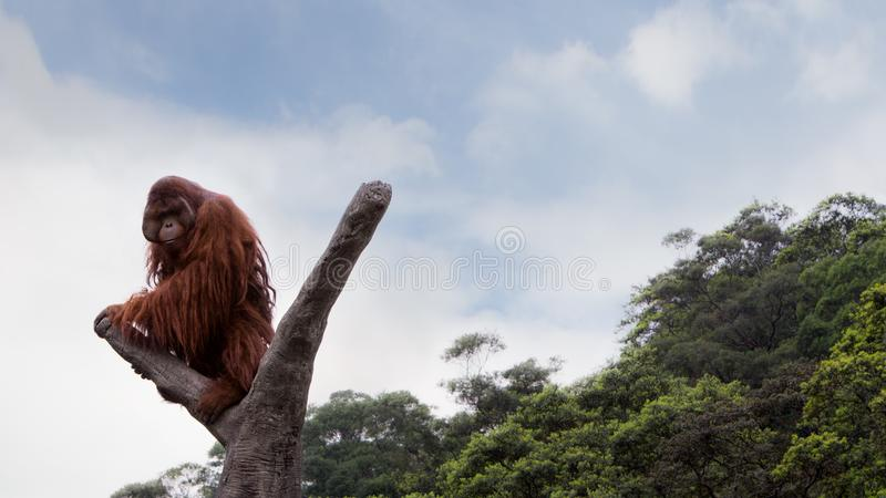 Un orang-outan de Bornean, pygmaeus de Pongo, s'est élevé jusqu'au dessus de l'arbre avec le ciel bleu images libres de droits