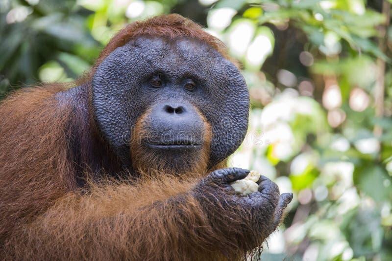 Un orang-outan masculin dans la forêt de Kalimantan photographie stock libre de droits