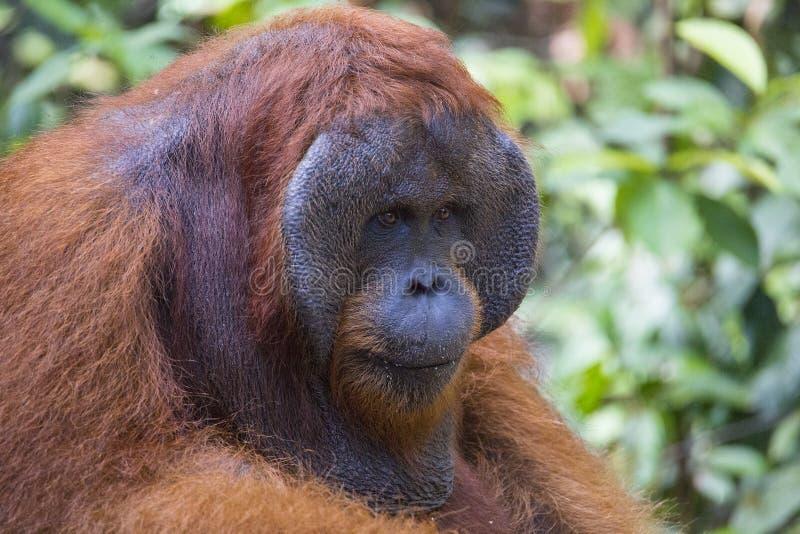 Un orang-outan masculin dans la forêt de Kalimantan image stock