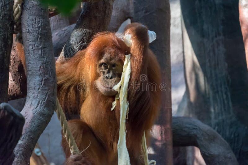 Un orang-outan sauvage de Bornean de m?re dans la for?t tropicale photos stock