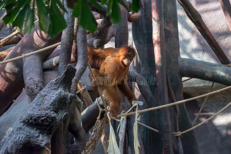 Un orang-outan sauvage de Bornean de m?re dans la for?t tropicale photos libres de droits