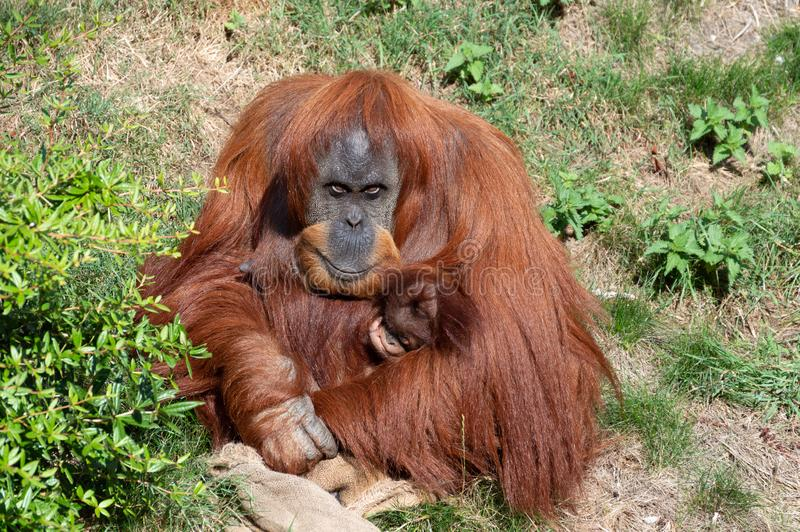 Un orang-outan tenant un bébé photographie stock
