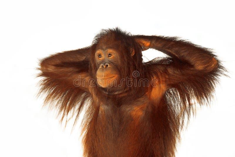 Un orangután joven fotos de archivo libres de regalías