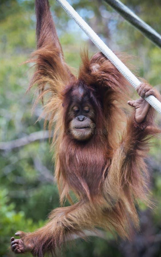 Un orangután joven del parque zoológico cuelga de una cuerda foto de archivo