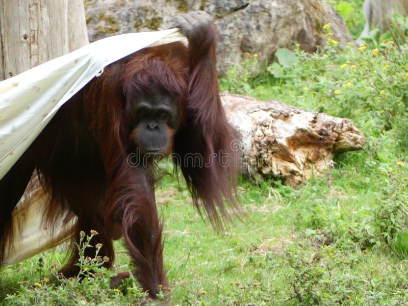 Un orangután juvenil de Borneo que se envuelve en una manta imagen de archivo