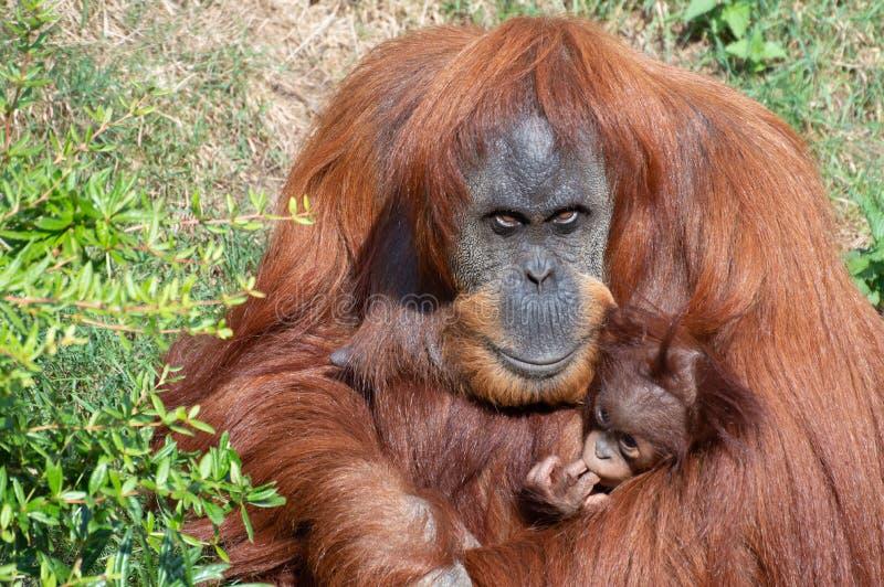 Un orangután que detiene a un bebé fotos de archivo
