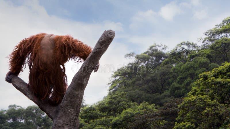 Un orangutan di Bornean, pygmaeus del pongo, ha scalato fino alla cima dell'albero con cielo blu immagini stock libere da diritti