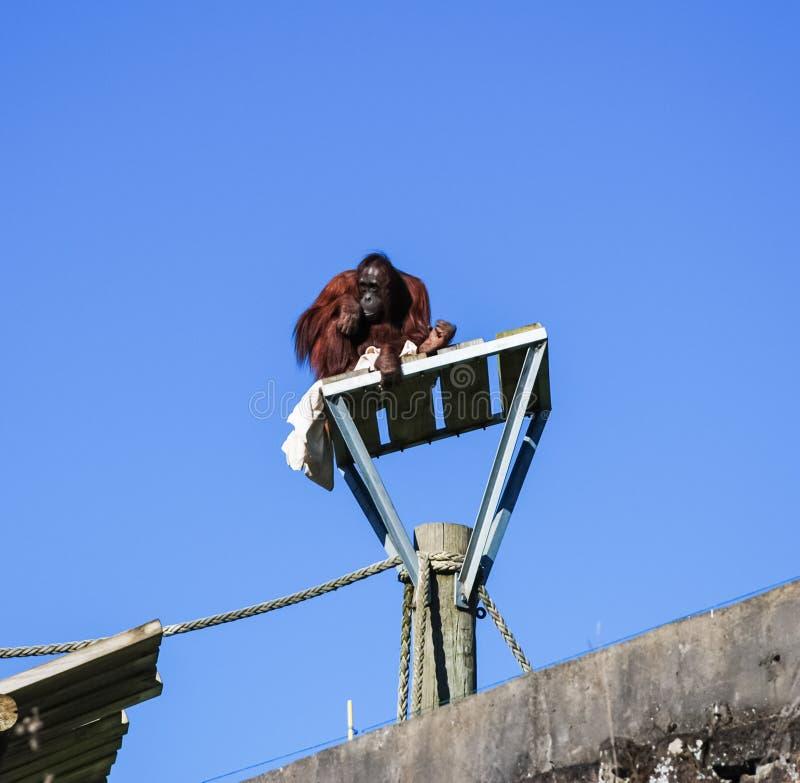 Un orangutan ha scalato su una colonna e si siede là fotografie stock