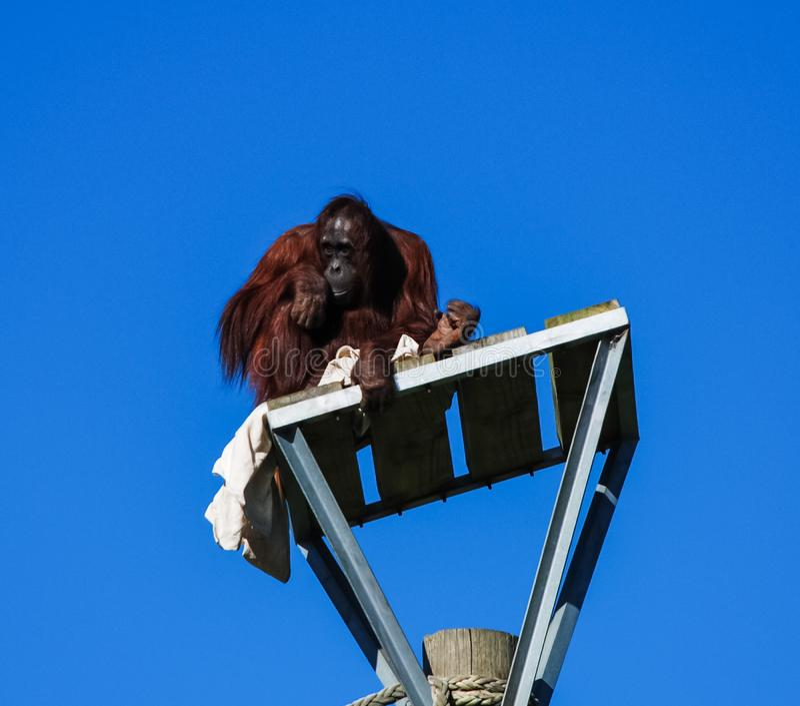 Un orangutan ha scalato su una colonna e si siede là fotografie stock libere da diritti