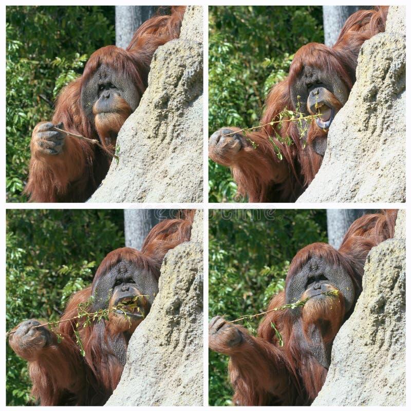 Un orangutan utilizza un bastone per pescare per le termiti fotografia stock libera da diritti