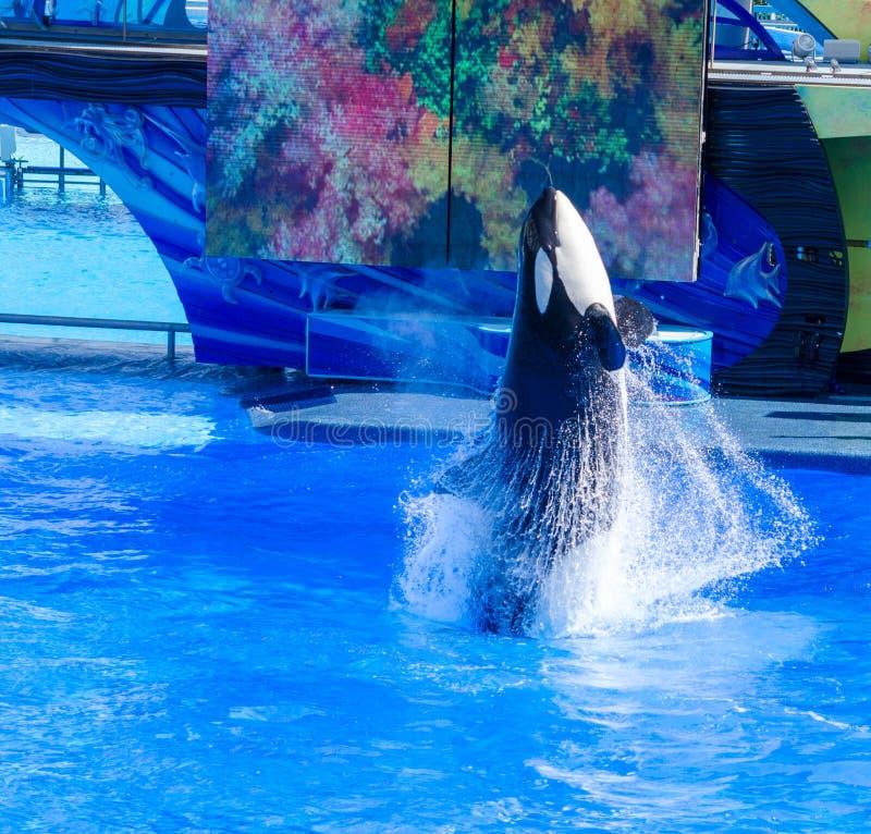 Un'orca saltare fotografie stock
