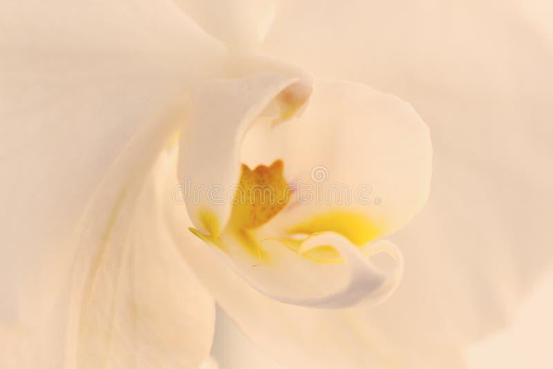 Un'orchidea di vaniglia bianca tenera Fine in su Fuoco selettivo fotografia stock