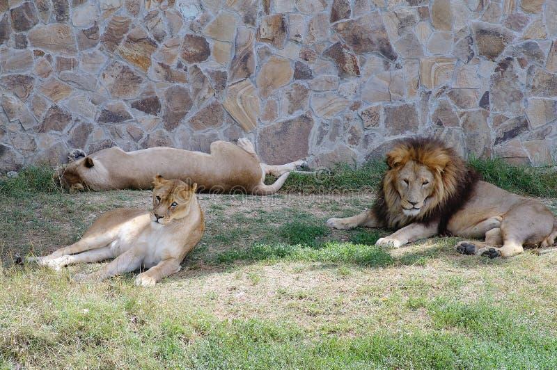 Un orgoglio dei leoni che riposano nell'erba nello zoo Bello Lion Family immagine stock