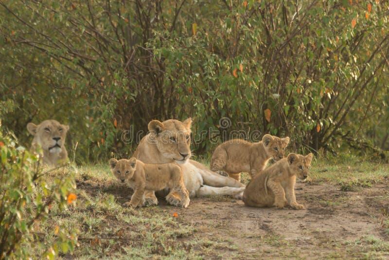 Un orgullo de leones con los cachorros fotografía de archivo