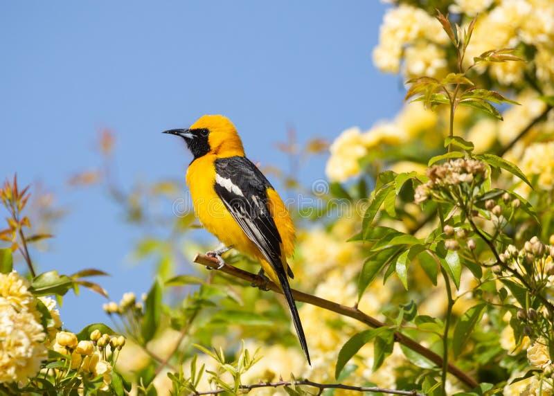 Un oriolo incappucciato che si siede sul ramo di un cespuglio in pieno di piccole rose gialle con cielo blu nei precedenti fotografia stock libera da diritti