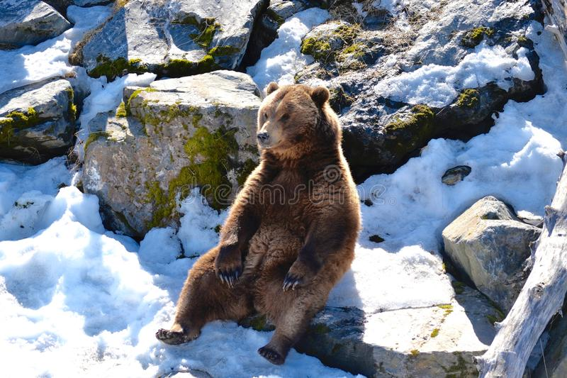 Un orso grigio magestic fotografie stock