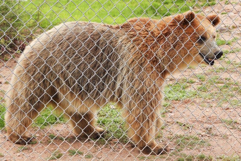Un orso grigio in una gabbia dello zoo fotografie stock