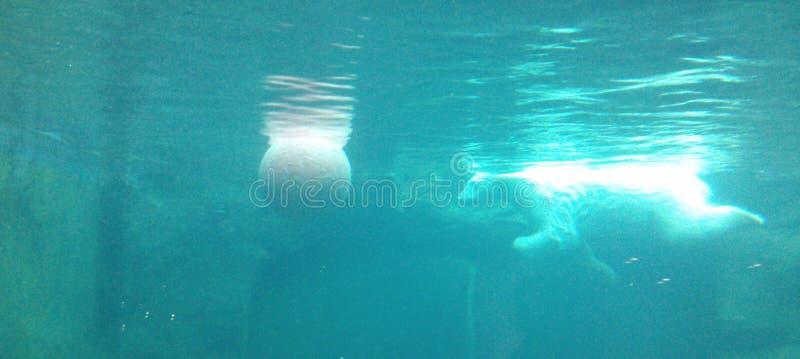 Un orso polare luminoso nuota dietro una palla subacquea in un'acqua del turchese immagini stock libere da diritti