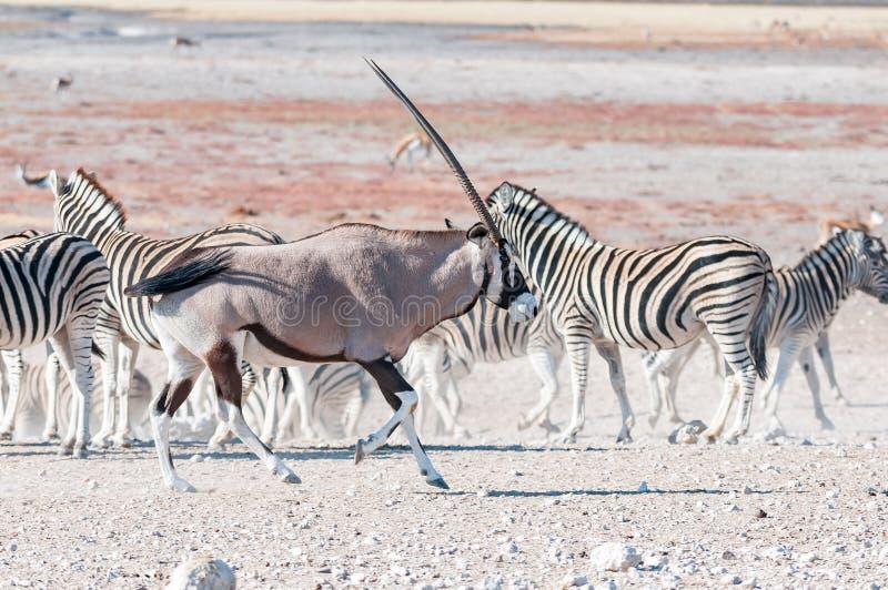 Un oryx o un gemsbok, últimas cebras de funcionamiento de Burchells fotos de archivo libres de regalías