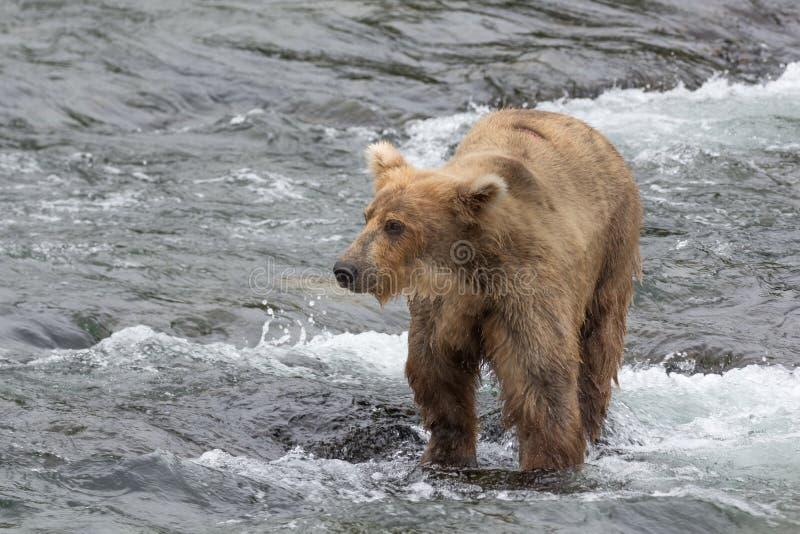 Un oso grizzly coge los salmones en las aguas poco profundas en la base de una cascada - caídas del arroyo - Alaska foto de archivo