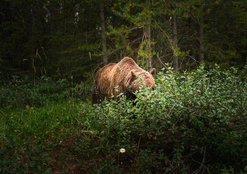 Un oso grizzly pasta en bayas dentro del parque nacional de Banff imagen de archivo