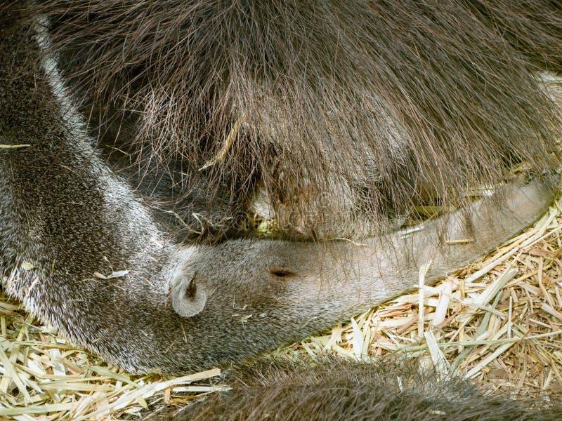 Un oso hormiguero el dormir, él miente y ha puesto su nariz larga alrededor de su cuerpo imágenes de archivo libres de regalías