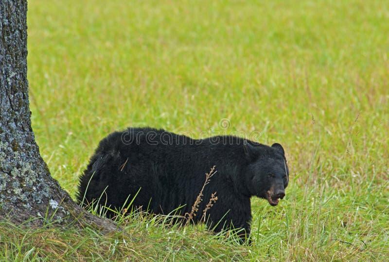 Un oso negro que come las nueces debajo de un árbol de nuez. imagen de archivo libre de regalías