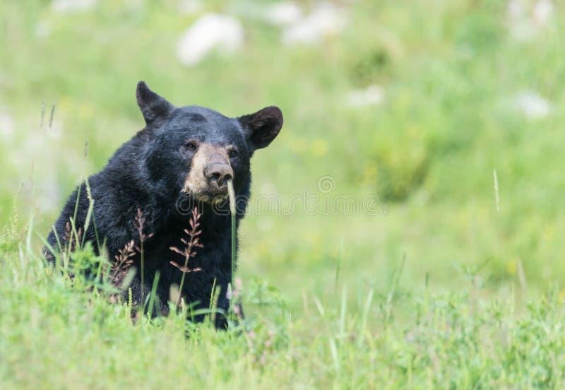 Un oso negro solitario en alguna hierba fotografía de archivo