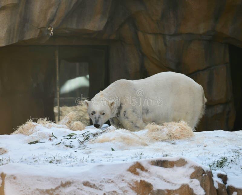 Un oso polar de vagabundeo foto de archivo