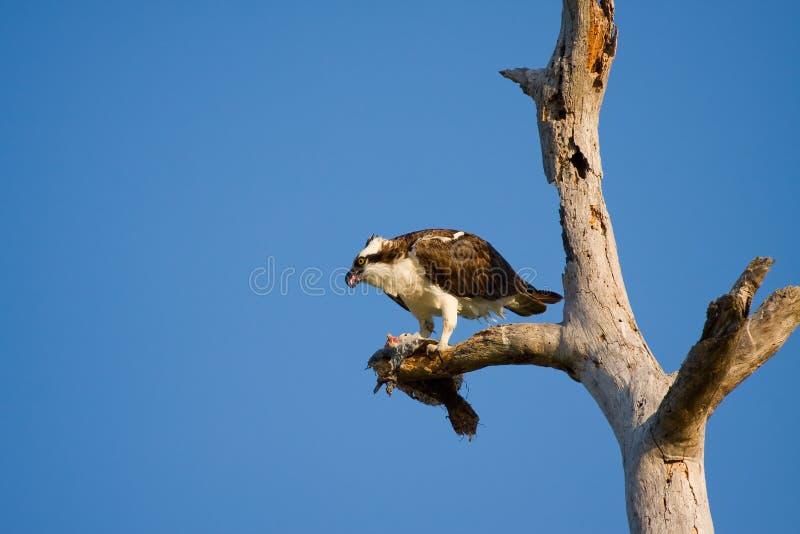 Un Osprey mangia una passera fotografia stock
