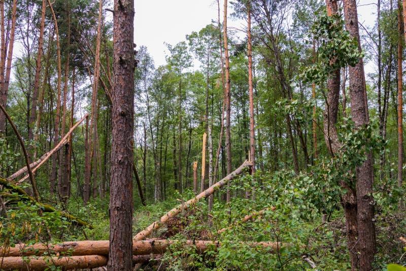 Un ouragan dans les arbres et eux vers le bas frappés par forêt est tombé photos stock