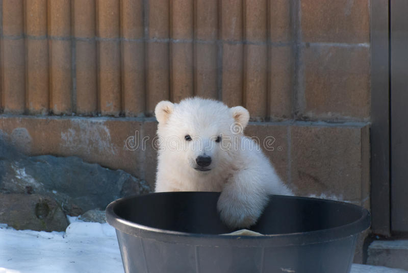 Ours blanc de bébé images libres de droits