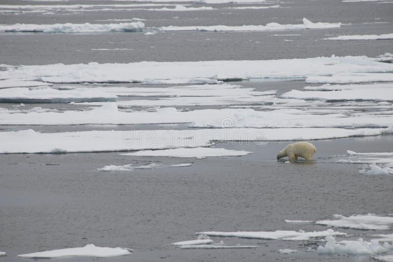 Un ours blanc nage et joue entre les banquises dans les eaux arctiques photographie stock