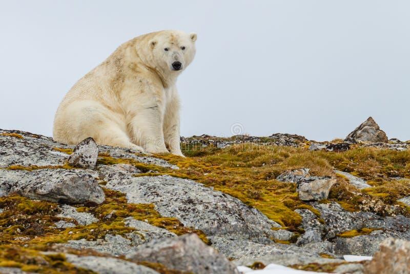 Un ours blanc se repose sur la colline couronnée de neige pierreuse avec de la mousse photo libre de droits