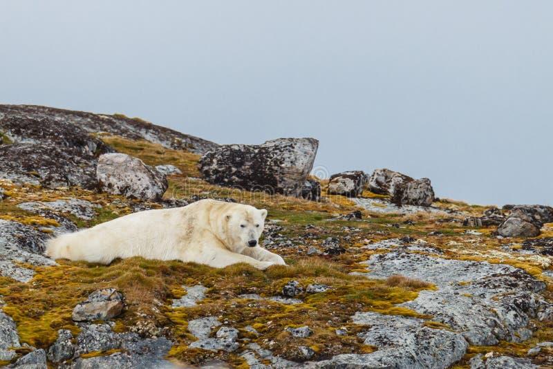 Un ours blanc se trouve sur la colline couronnée de neige pierreuse photographie stock
