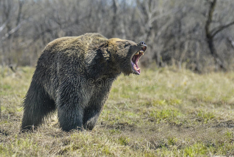 Un ours brun dans le grand ours de Brown de forêt images stock