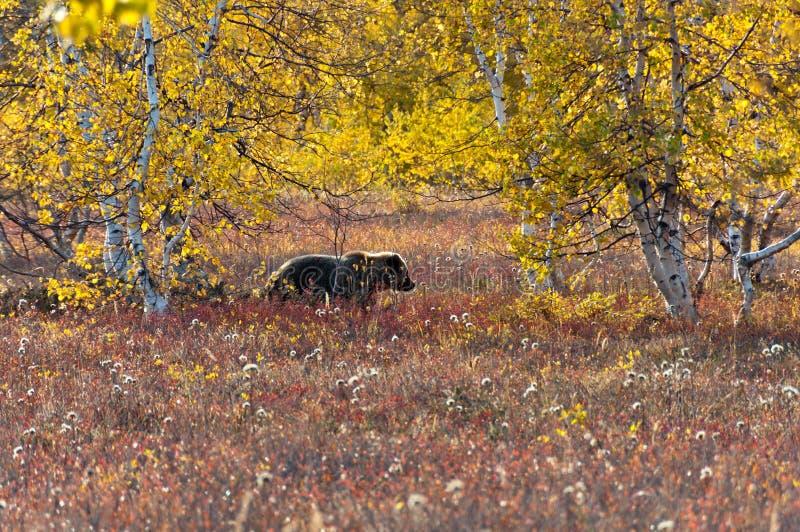Un ours brun dans le pré d'automne image stock