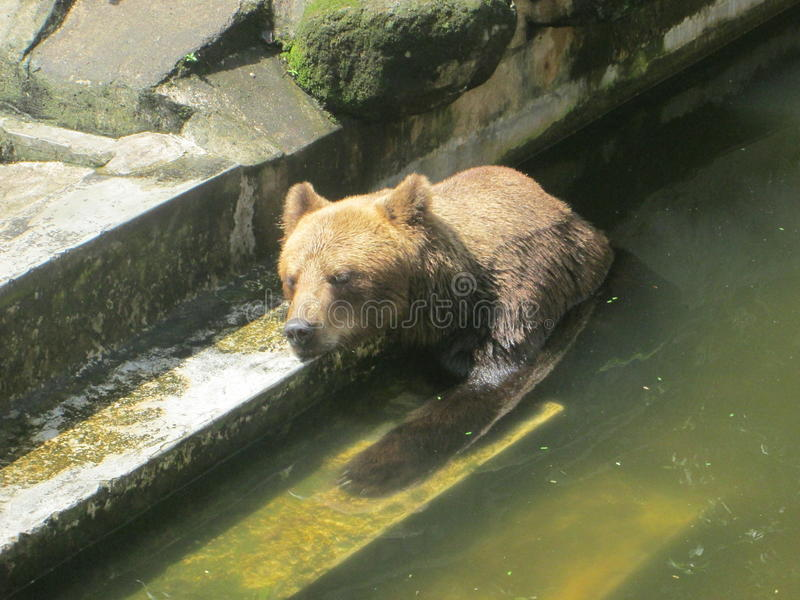 Un ours dans l'eau image libre de droits