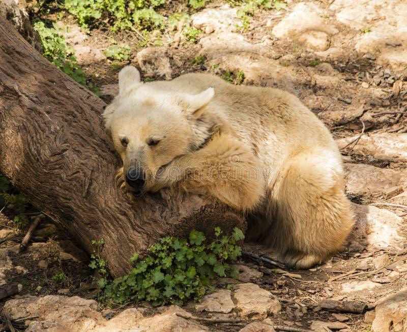 Un ours faisant une sieste photos libres de droits