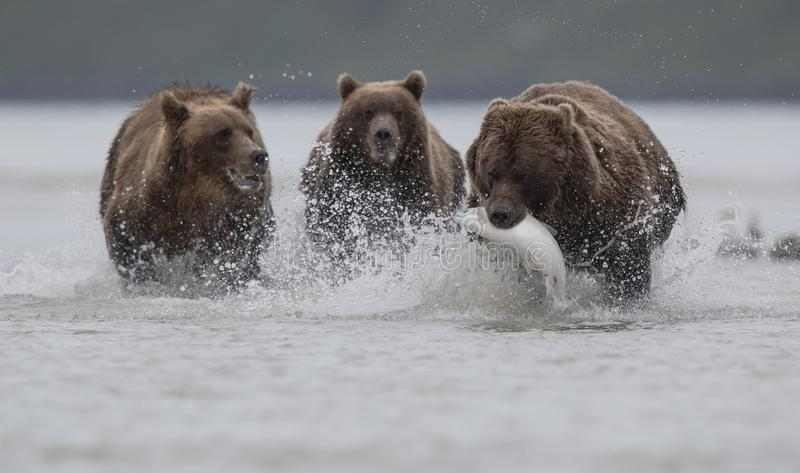 Un ours gris portant Salomon, poursuivi par deux ours gris, dans Katmai images libres de droits