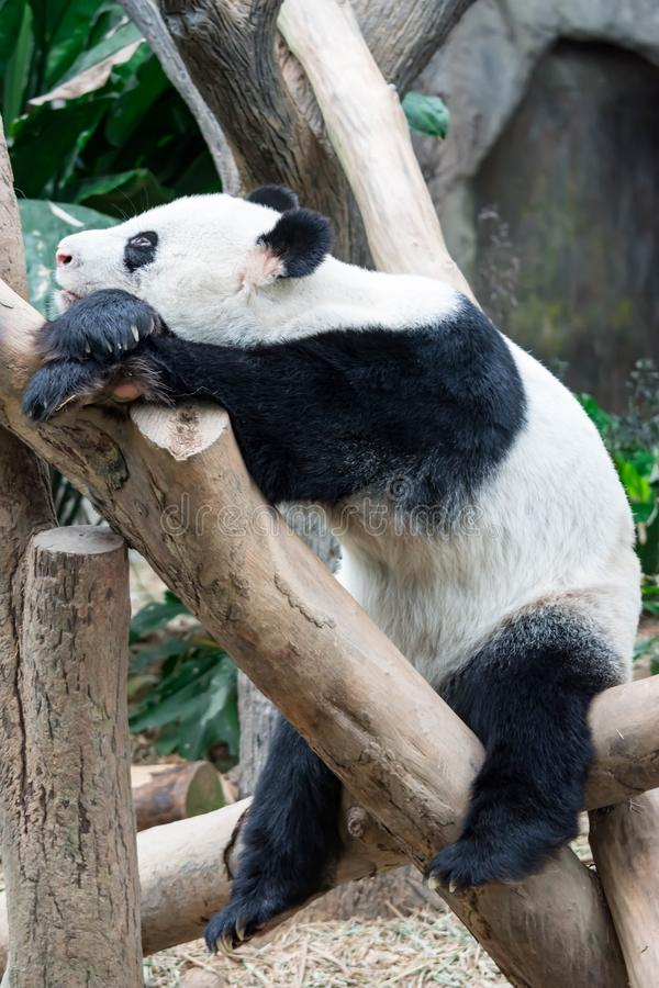Un ours panda géant très paresseux et somnolent le trouve individu reposer a photos libres de droits