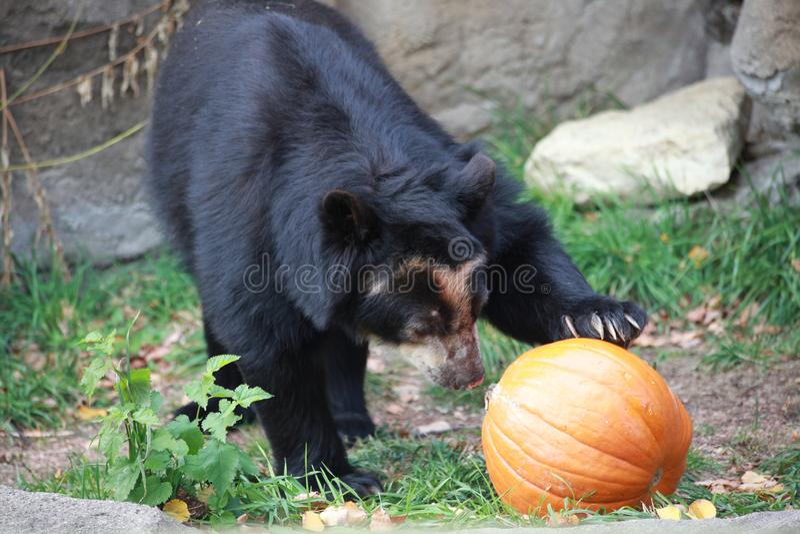 Un ours, un potiron photo libre de droits