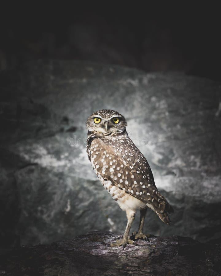 Un Owl Staring creusant avec le contact visuel dans l'obscurité se tenant devant des roches image libre de droits
